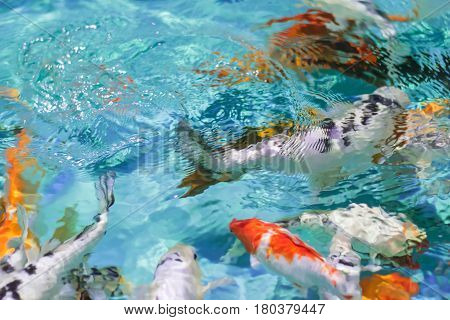 Blurred background Chinese goldfish in pond with clean water. Abstraction of a beautiful fish background in clear water. The play of colours of nature.