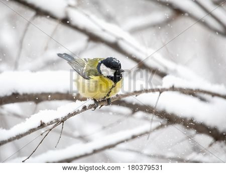 Great Tit At Winter Forest