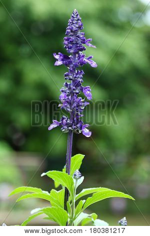 Salvia nemorosa May Night Garden sage plant in garden