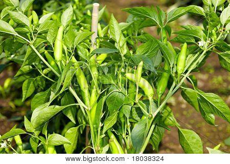 Organic Peperoni Called Sarit Gat