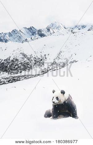 Giant Panda with snow mountain in winter