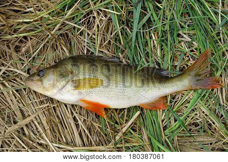 River perch is in the lake sedge