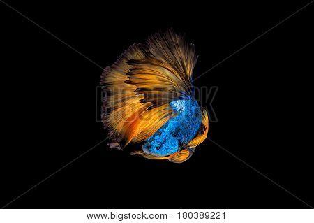 Colourful Betta Fish,siamese Fighting Fish In Movement On Black Background