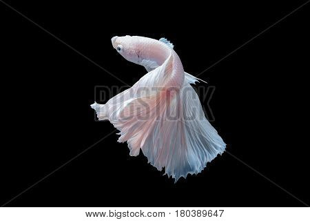 Close Up Of White Platinum Betta Fish Or Siamese Fighting Fish In Movement On Black Background.