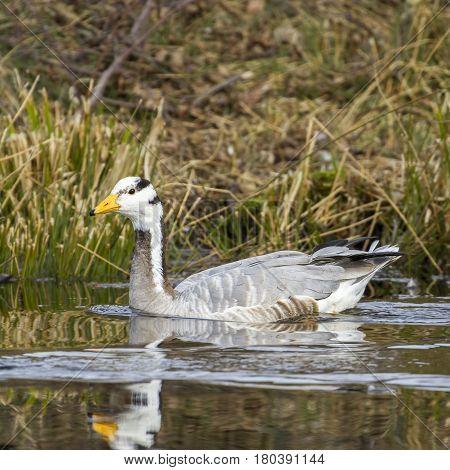 Greylag goose-Large Waterbird of Europe prefer living in lakes