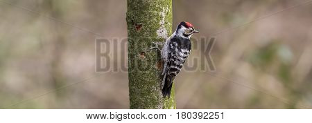 Middle Spotted Woodpecker  looking for food in tree trunk.