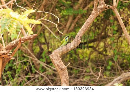 Close up of green bee-eater or Merops orientalis perching on dry branch in Sri Lanka