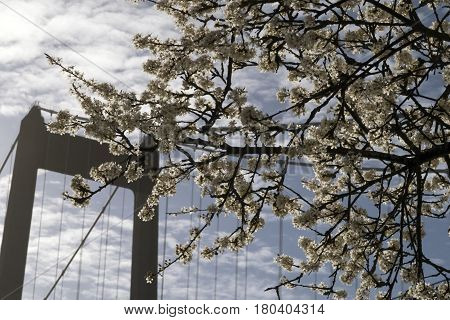 Hawthorn flowers and top of beautiful suspension bridge in Denmark.