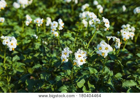 Flowering potatoes on a field close-up. Agriculture cultivation of vegetables.