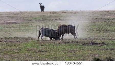 Scrimmage in the savanna. Warthogs. SweetWaters, Kenya
