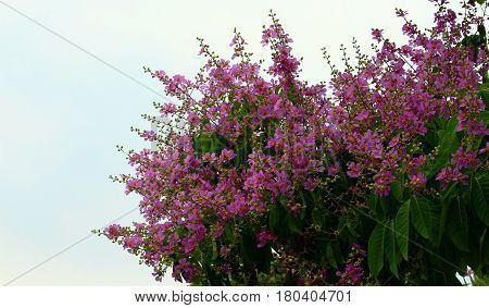 Inthanin Flower or Queen s flower, Lagerstroemia inermis Pers, Queen s crape myrtle