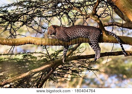 Portrait of a sleeping leopard on a tree. Nakuru, Kenya
