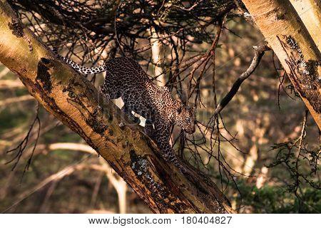 Leopard on a tree in an ambush. Fast attack. Kenya