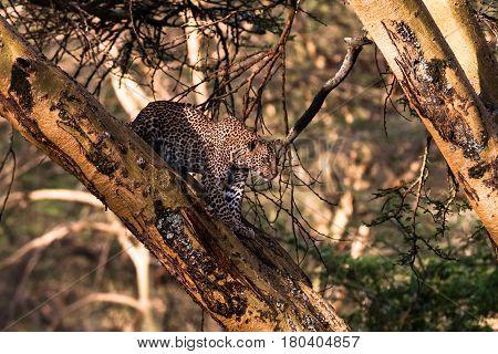 Leopard on a tree in an ambush. Africa