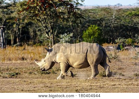 Large white rhino. Nakuru lake park, Kenya
