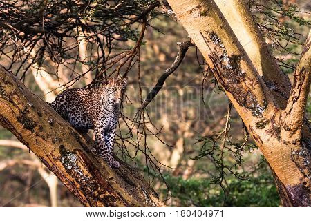 Leopard in ambush on the tree. Lake Nakuru, Kenya