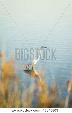 Eastern Great Egret (Ardea modesta) in the calm Swan River. Perth, Western Australia, Australia.