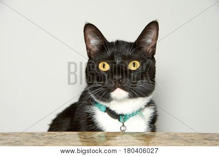 Portrait of one Tuxedo cat sitting peaking over a counter top looking towards viewer. A tuxedo cat or Felix cat in the UK is a bicolor cat with a white and black coat