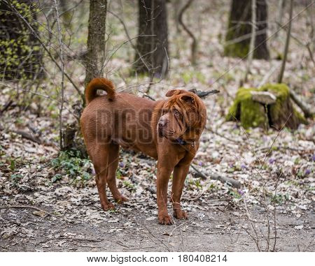 A shar pei dog standing on a path in the park and looking back