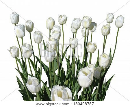 A bouquet of white tulips on a gray background. Tenderness white petals. Attached is a file in .png