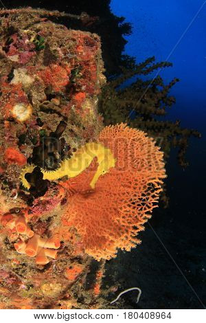 Yellow Thorny Seahorse on coral reef