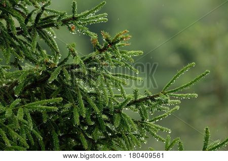 The green wet spruce under drops of rain