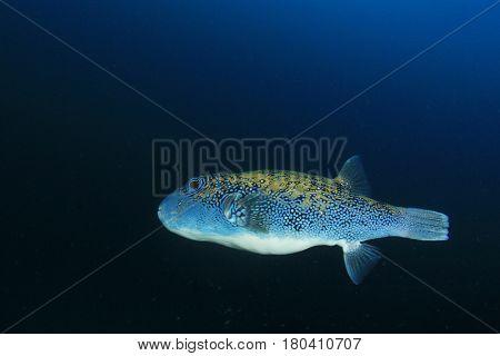 Pufferfish puffer fish
