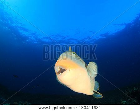 Yellowmargin Triggerfish underwater fish