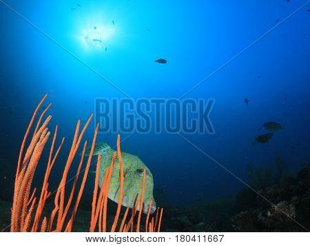 Scribbled Filefish fish in ocean