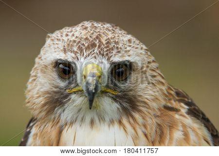 photo portrait of an alert  Saker falcon