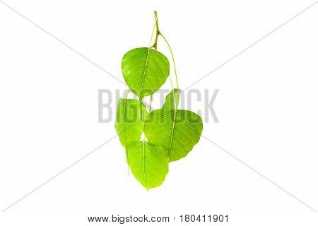 Green leaves(Pho leaf bo leafbothi leaf)isolated on white background