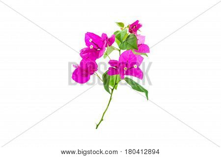 Bougainvillea on white background Provincial flower of phuket thailand