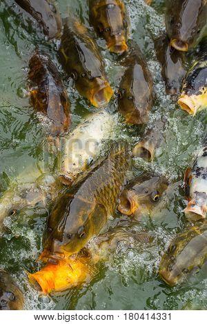 photo of a shoal of carp fish feeding