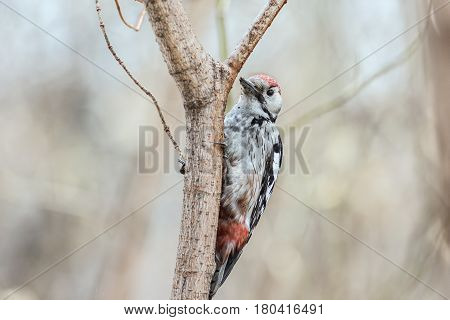 Middle Spotted Woodpecker ( Leiopicus medius) sits on a tree trunk