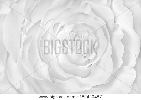 Monochrome image White rose close-up can use as wedding background. Soft blur focus
