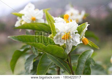 Solanum white flower macro. Blooming potato. Natural background