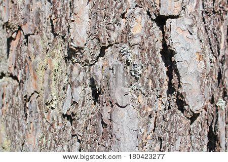 Conifer bark texture in dark brown color