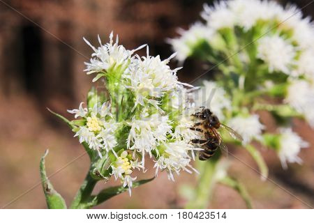 Allium Ursinum With Brown Background And Bee