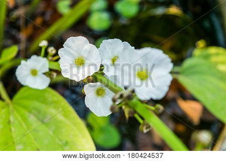 Beautiful small white flower of Creeping Burhead or Echinodorus Cordifolius is a aquatic plant