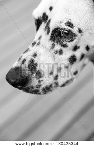 Head Of A Dalmatian Dog
