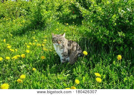 Striped cat sitting on a glade in a green grass with yellow flowers.