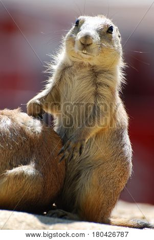 Black tailed prairie dog standing up on his hind legs.