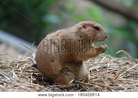 Boxing prairie dog with his paws up ready to brawl.