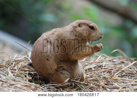 Black tailed prairie dog with his paws raised to fight.