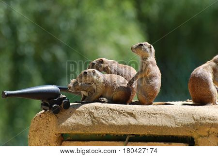 Prairie dogs ready to do battle with a cannon.