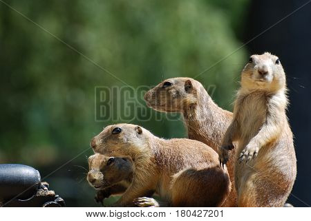 Cute group of black-tailed prairie dogs all together.