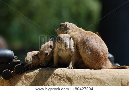 Black tailed prairie dogs sitting together on a rock.