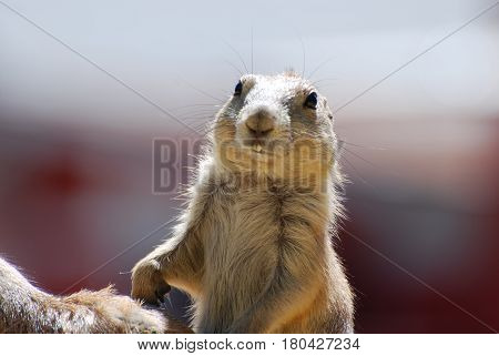 Buck teeth on a cute prairie dog.