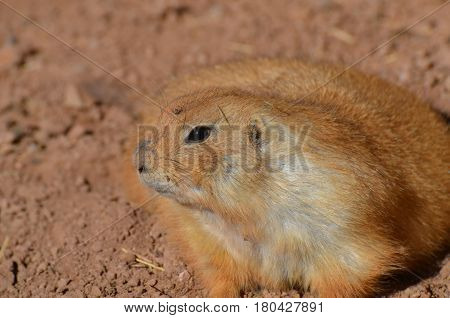 Cute prairie dog that is a little overweight up close and personal.