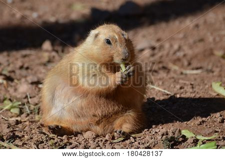 A very chubby prairie dog eating some greens.